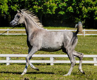 Arabian Stallion Royalty Free Stock Photos