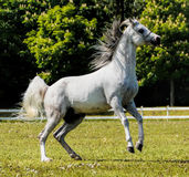 Arabian Stallion Royalty Free Stock Images