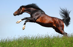 Arabian stallion jumps. Realistic photomontage Royalty Free Stock Images