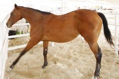 An arabian stallion playing Royalty Free Stock Photo