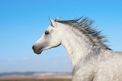 Arabian stallion portrait in movement. Over a nature background stock photography
