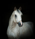 Arabian stallion portrait. Over a black background Royalty Free Stock Photo