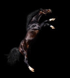 Arabian stallion rears Stock Image
