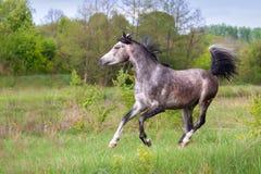 Arabian stallion run Stock Images