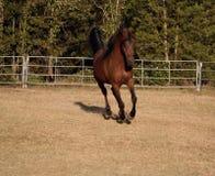 Arabian stallion running. In field Royalty Free Stock Photo