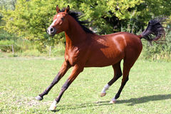 Arabian stallion runs gallop across summer meadow Stock Photo