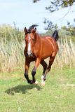 Arabian stallion runs gallop across summer meadow Stock Images