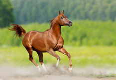 Arabian stallion Stock Images