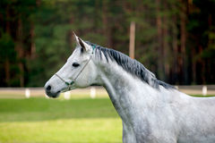 Arabian stallion royalty free stock image