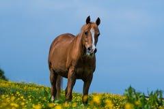 Arabian Stallion Stands in Field of Irish Wild Flowers. A thoroughbred Arabian Stallion Horse in a field of yellow Irish Dandelion Wild Flowers Royalty Free Stock Photography