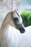 Arabian stallion Stock Photography