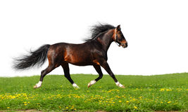 Arabian stallion trots Stock Image
