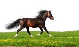 Arabian stallion trots. Isolated on white Stock Image