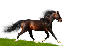 Arabian stallion trots. Isolated on white Stock Images