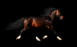 Arabian stallion trots. Isolated on black Royalty Free Stock Photography