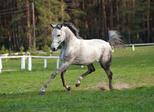 Arabian stallion Stock Image