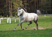 Arabian stallion. Trotting on a show Stock Image