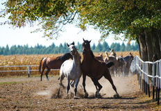 Arabian stallions faithing on the autumn pasture Royalty Free Stock Photo