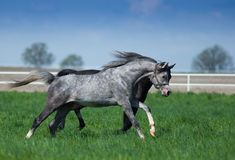 Arabian stallions on the pasture Stock Image
