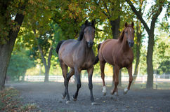 Arabian stallions on the pasture Stock Photo