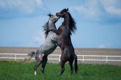 Arabian stallions on the pasture Royalty Free Stock Photo