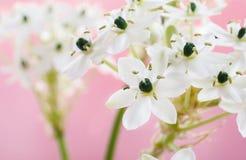 Arabian star flower (ornithogalum arabicum). Spring background with arabian star flower (ornithogalum arabicum Stock Photography