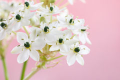 Arabian star flower (ornithogalum arabicum). Spring background with arabian star flower (ornithogalum arabicum Royalty Free Stock Image