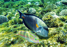 Arabian surgeonfish and klunzinger's wrasse fish underwater Royalty Free Stock Photography