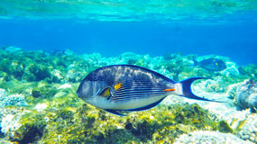 Arabian surgeonfish underwater red sea Royalty Free Stock Photos
