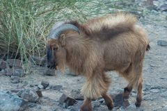 Arabian Tahr profile shot in the rocks of the UAE. royalty free stock images