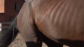 Arabian um cavalo vídeos de arquivo