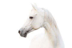 Arabian white horse royalty free stock image