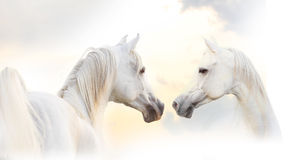 Arabian white horse Royalty Free Stock Images