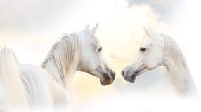 Arabian white horse. Beautiful arabian purebred white horses Royalty Free Stock Images