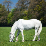 Arabian white horse in a green field Stock Images