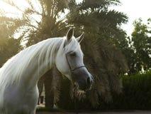 Free Arabian White Horse In The Garden Stock Photo - 164116910