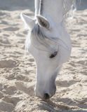 Arabian white horse smell sand Royalty Free Stock Images