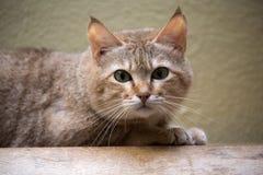 Arabian wildcat, Felis silvestris Gordon, is a rare subspecies of wild cats. One Arabian wildcat, Felis silvestris Gordon, is a rare subspecies of wild cats Stock Image
