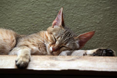 Arabian wildcat (Felis silvestris gordoni). Royalty Free Stock Photography
