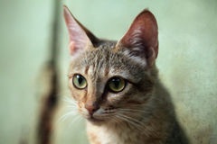 Arabian wildcat (Felis silvestris gordoni). Arabian wildcat (Felis silvestris gordoni), also known as the Gordon's wildcat. Wild life animal Stock Image