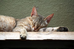 Arabian wildcat (Felis silvestris gordoni). Royalty Free Stock Photos