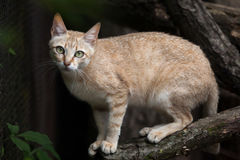 Arabian wildcat (Felis silvestris gordoni). Also known as the Gordon's wildcat. Wildlife animal Stock Photography
