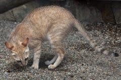 Arabian wildcat (Felis silvestris gordoni). Also known as the Gordon's wildcat. Wildlife animal Stock Photos