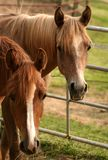 Arabian Yearling colts. Two yearling Arabian colts standing close together Royalty Free Stock Photos
