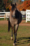 Arabian yearling horse Stock Photos