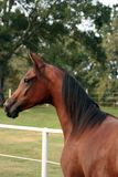 Arabian Yearly Filly. Arabian filly close up portrait Royalty Free Stock Photos