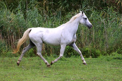 Arabian young grey horse galloping on pasture against green back Royalty Free Stock Images