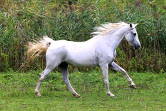 Arabian young grey horse galloping on pasture against green back Royalty Free Stock Photography
