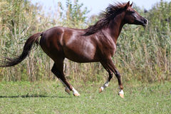 Arabian young horse galloping on pasture against green reed Royalty Free Stock Image
