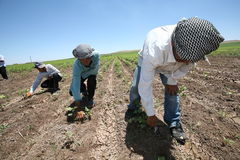 Arabic Agricultural Workers Royalty Free Stock Photo